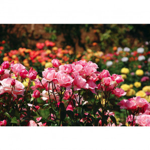 Osmocote abono rosales 1 kg